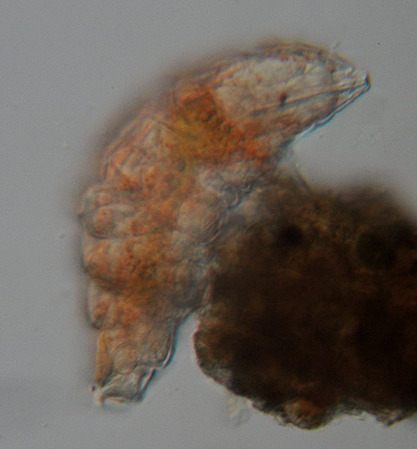[ Small Echiniscus tardigrade from the Austrian rock wall ]