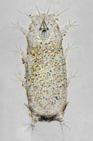[ Tardigrade from Pag island, Croatia, total view ]