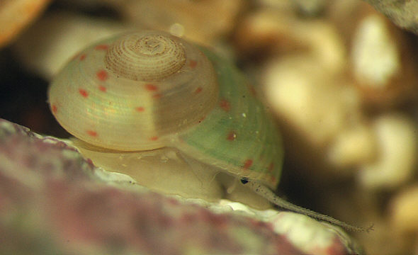 [ Sea snail in the micro aquarium ]