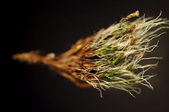 [ Single stem from a Grimmia pulvinata moss cushion ]