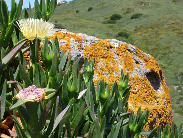 [ Pittoresque lichens at the western border of Europe: Cabo Roca ]