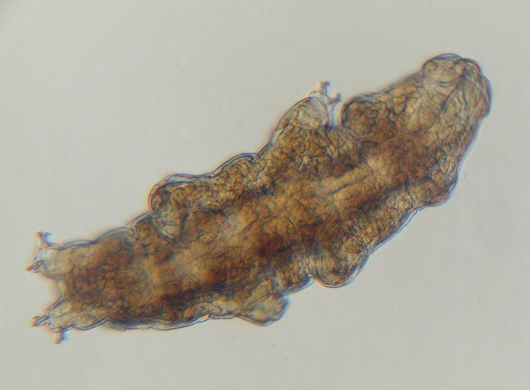[ Tardigrade from the Isar river flood water sample ]