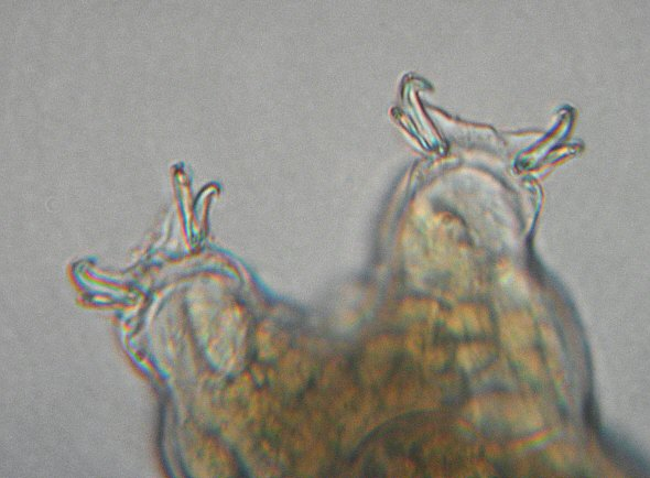 [ Tardigrade from the Isar river flood water sample, detail ]