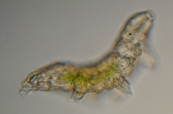 [ A tardigrade from Munich pavement moss: total view ]